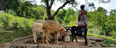Caribbean Small Ruminants Activity
