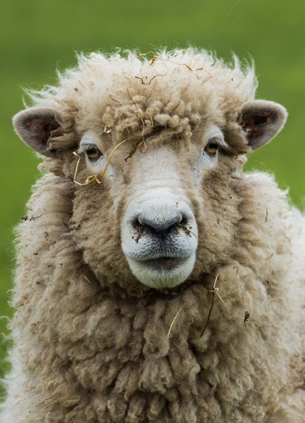 Back to New Zealand's woolly roots